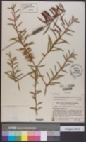 Callistemon macropunctatus image