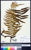Image of Polypodium ursipes