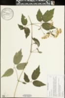 Clematis virginiana image
