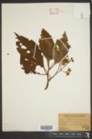 Saurauia pedunculata image