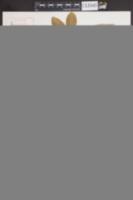 Image of Triphasia trifolia
