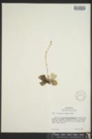 Image of Antennaria racemosa