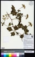 Cissus trifoliata image