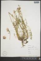 Image of Oxytropis roaldii