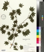 Image of Acer sieboldianum