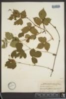 Image of Rubus huttonii