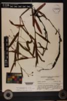 Image of Polygonum meisnerianum