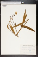 Image of Ranunculus lingua