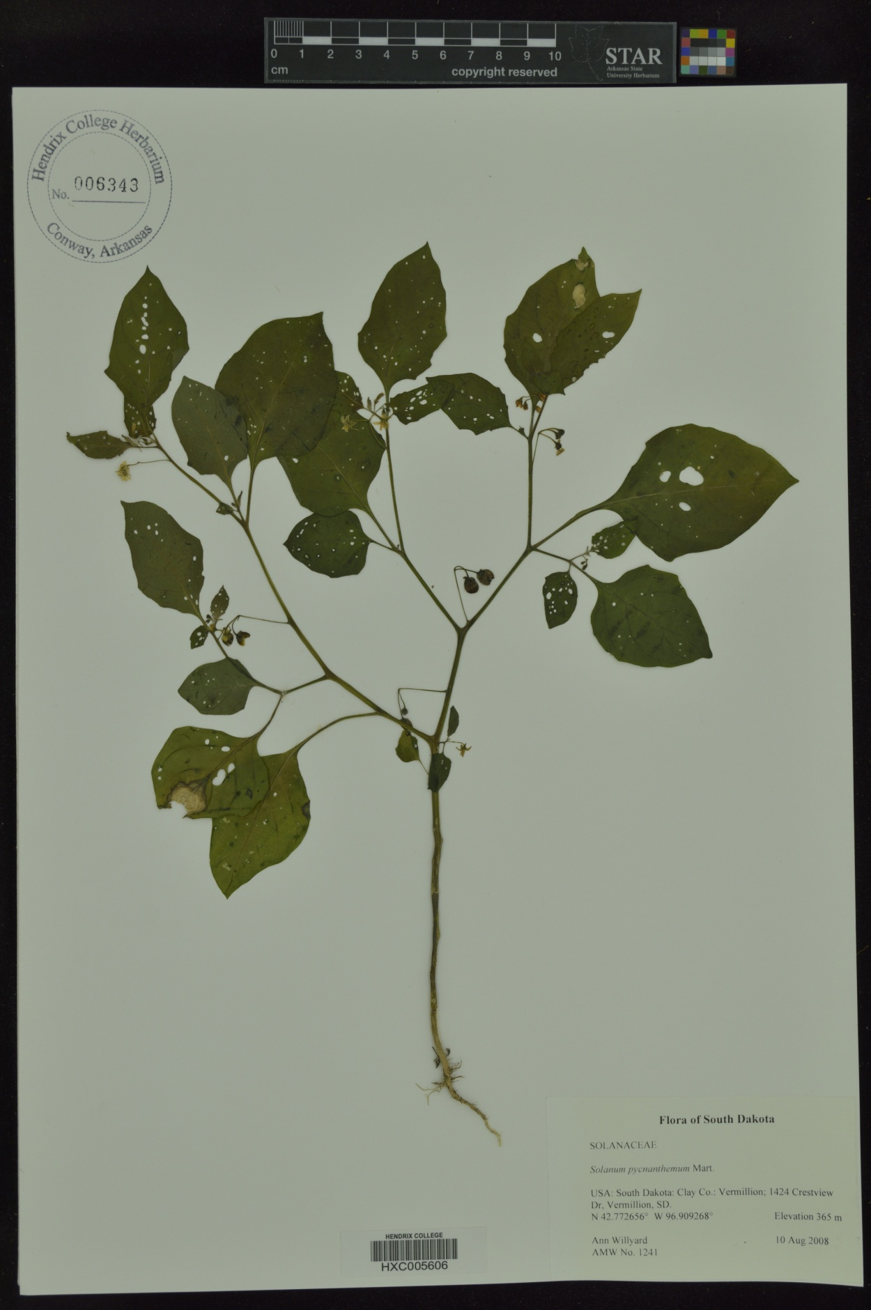 Solanum pycnanthemum image