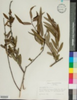 Salix amphibia image