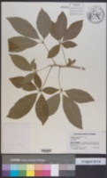 Casimiroa edulis image