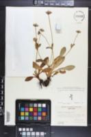 Eryngium scaposum image
