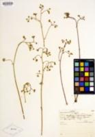 Micranthes californica image