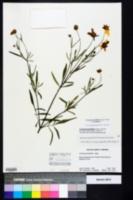 Coreopsis grandiflora image