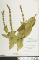 Image of Stachys eplingii
