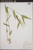 Image of Panicum mutabile
