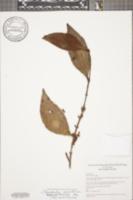 Phoradendron crassifolium image