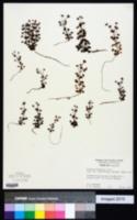 Image of Drosera stolonifera