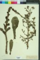 Lactuca virosa image