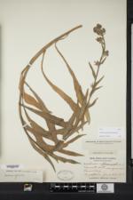 Anchusa officinalis image