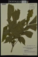 Carya laciniosa image