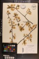 Prunus americana image