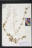 Image of Boerhavia herbstii