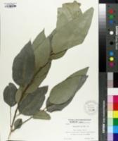 Image of Eucalyptus saligna