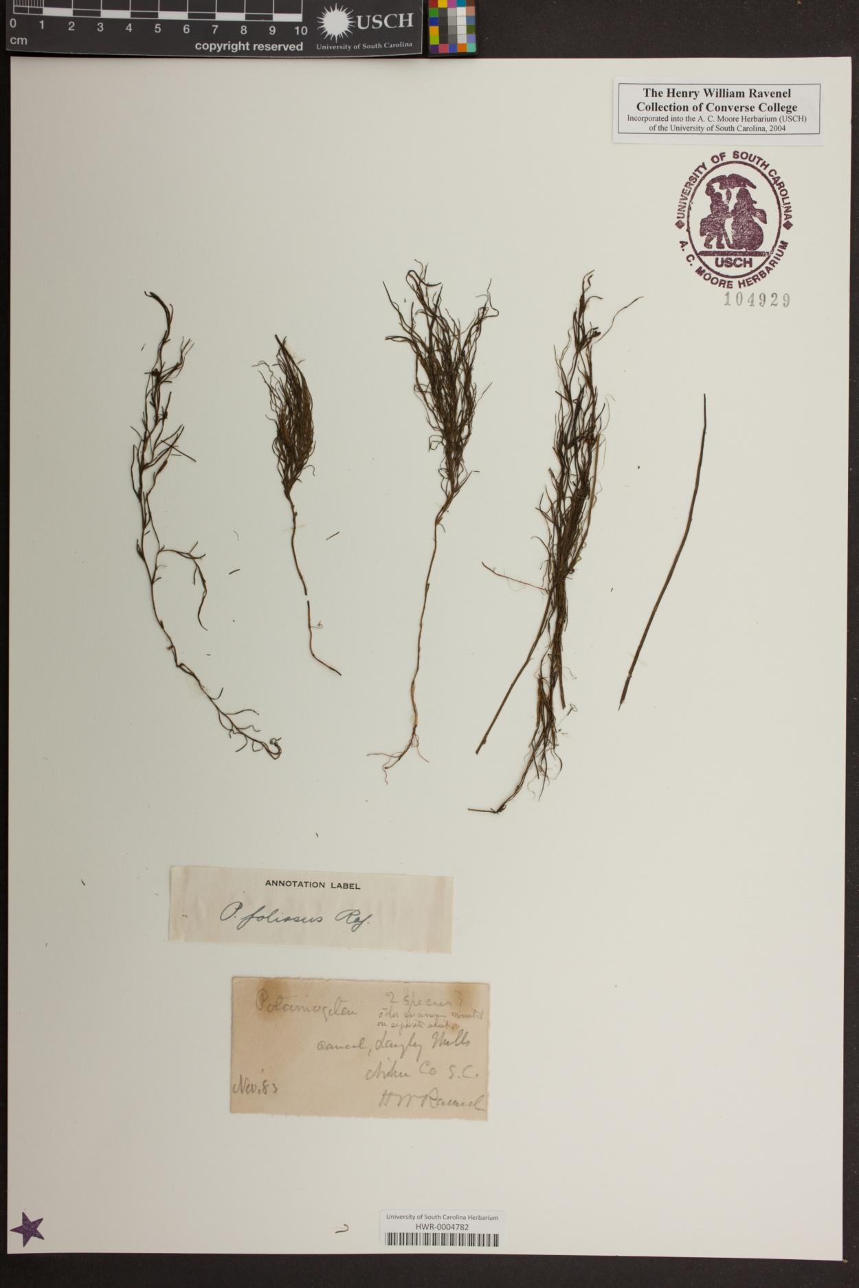 Potamogeton foliosus