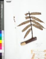 Image of Alsophila erinacea