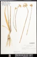 Allium neapolitanum image