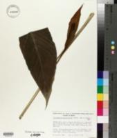Image of Spathiphyllum phryniifolium