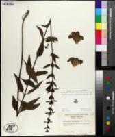 Aureolaria virginica image