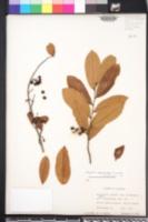 Polyalthia suberosa image