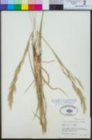 Bromus catharticus image