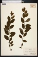 Flueggea suffruticosa image