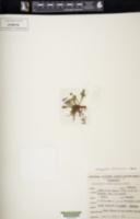 Image of Pleopeltis fallacissima