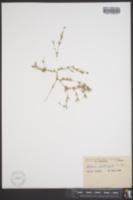 Stellaria ciliatosepala image