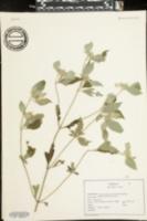 Pycnanthemum pycnanthemoides image
