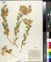 Petalonyx nitidus image