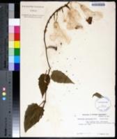 Image of Thunbergia grandiflora