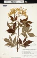 Image of Sambucus ebulus