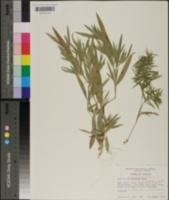 Panicum commonsianum image