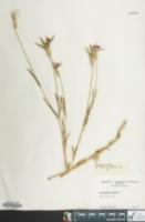 Agrostemma githago image