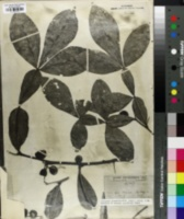 Image of Citropsis schweinfurthii