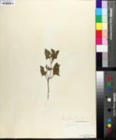 Chenopodium bonus-henricus image