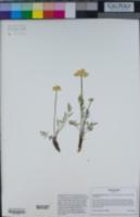 Cymopterus lemmonii image