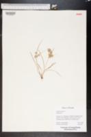 Cyperus pumilus image
