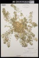 Draba cuneifolia var. integrifolia image