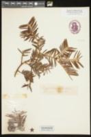 Cephalotaxus fortunei image